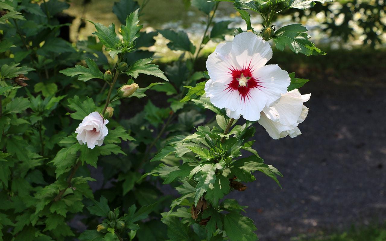 Garten-Hibiskus, Garteneibisch (Hibiscus syriacus)