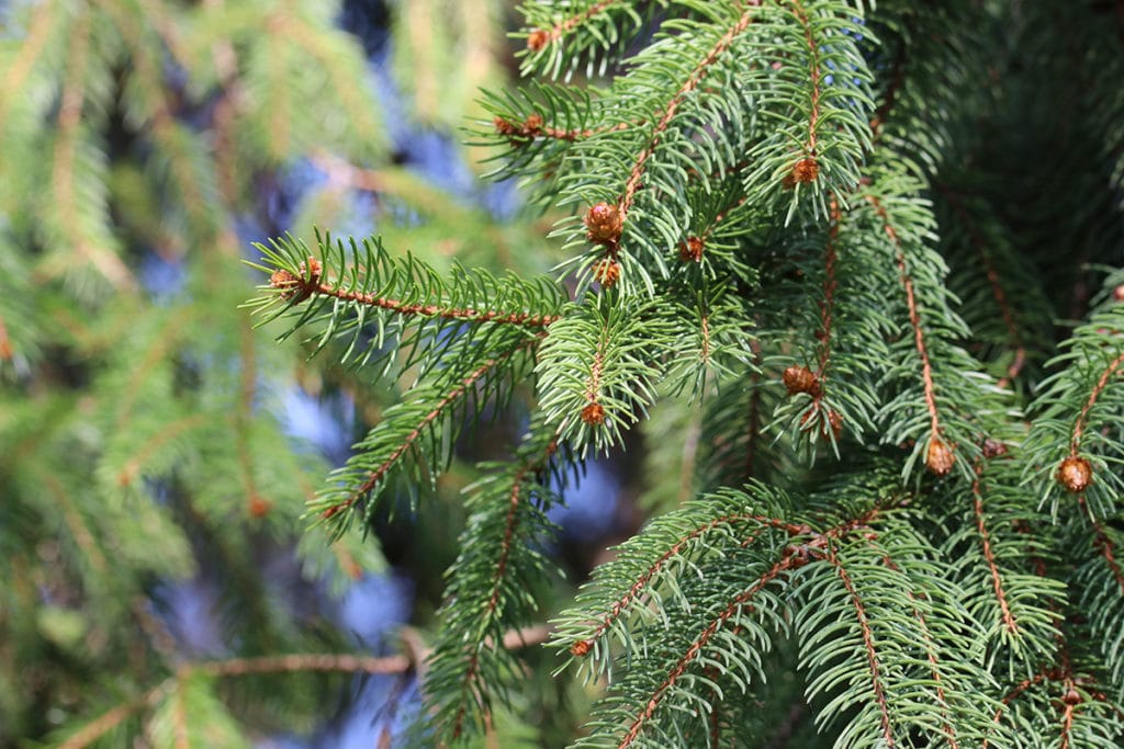 Baumarten, Gemeine Fichte (Picea abies
