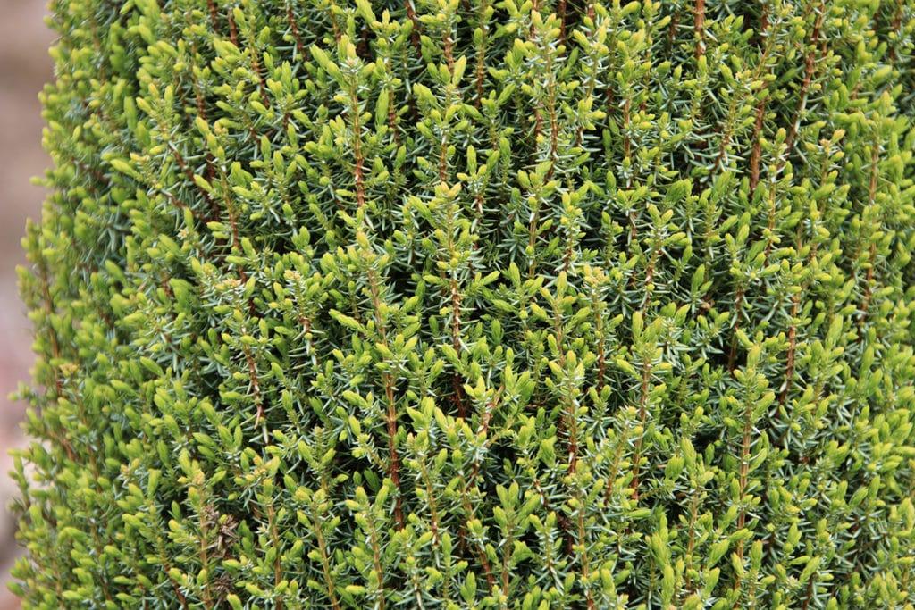 Baumarten, Gemeine Wacholder (Juniperus communis)