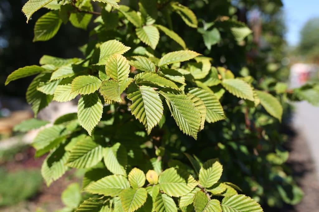Baumarten, Gewöhnliche Hainbuche (Carpinus betulus