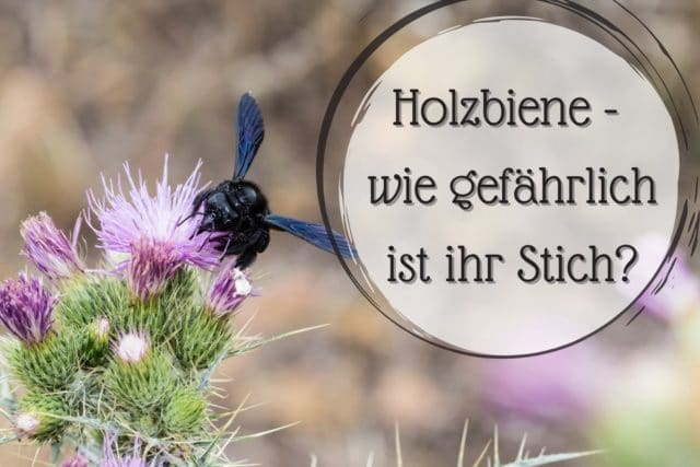 Holzbiene Stich