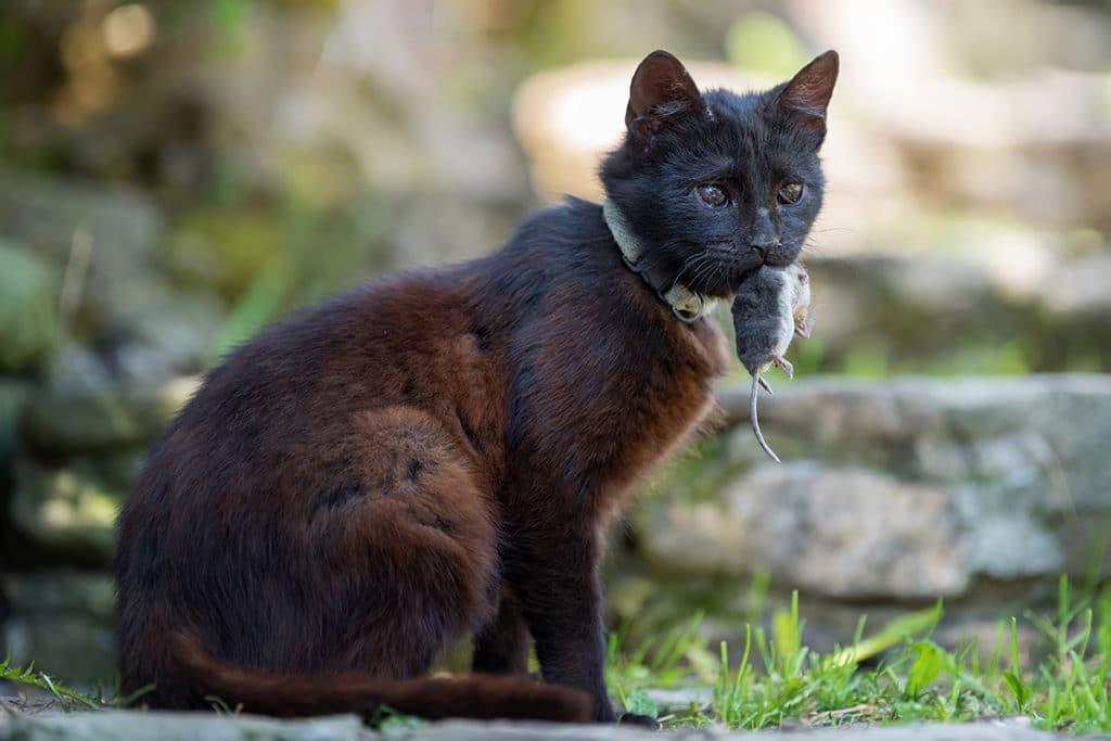 Katze, Rattenfänger