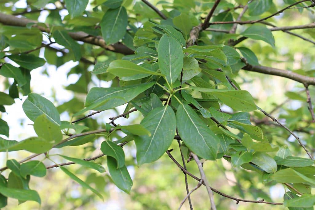 Pappel (Populus)
