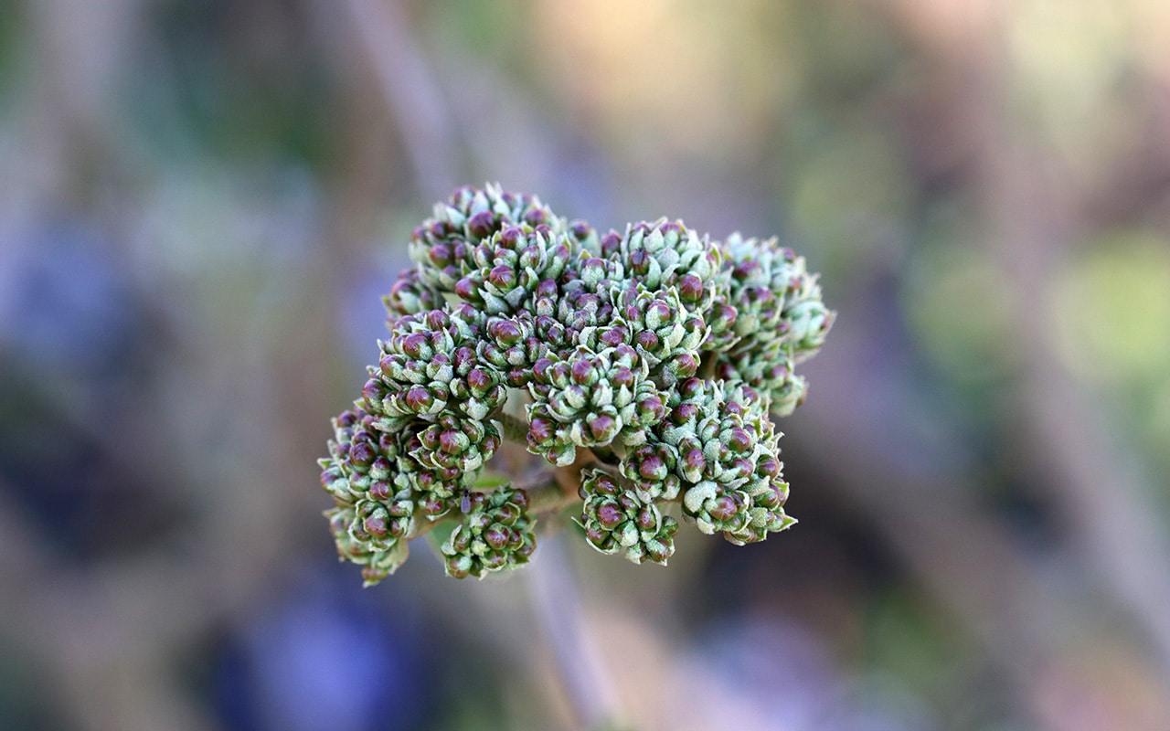 Koreanischer Duft-Schneeball (Viburnum carlesii), Kübelpflanzen