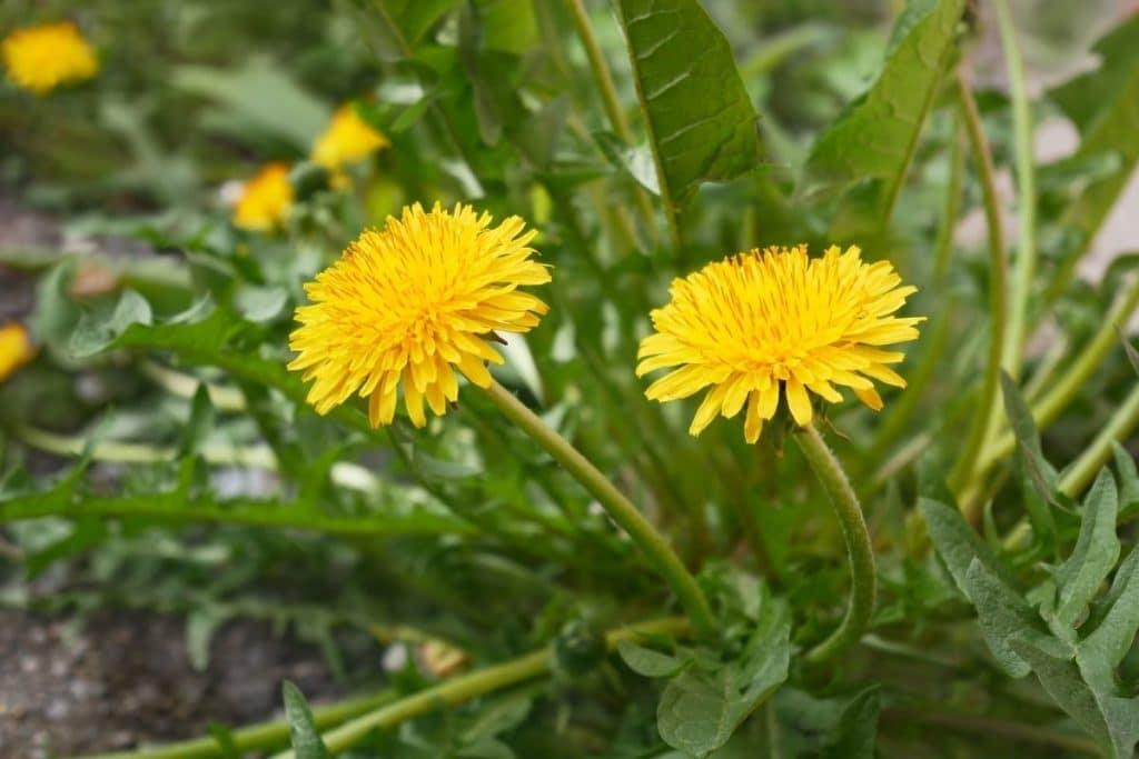 Löwenzahn (Taraxacum sect. Ruderalia), Unkraut