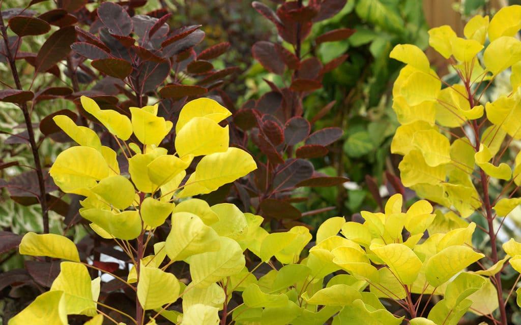 Perückenstrauch (Cotinus coggygria), Kübelpflanzen
