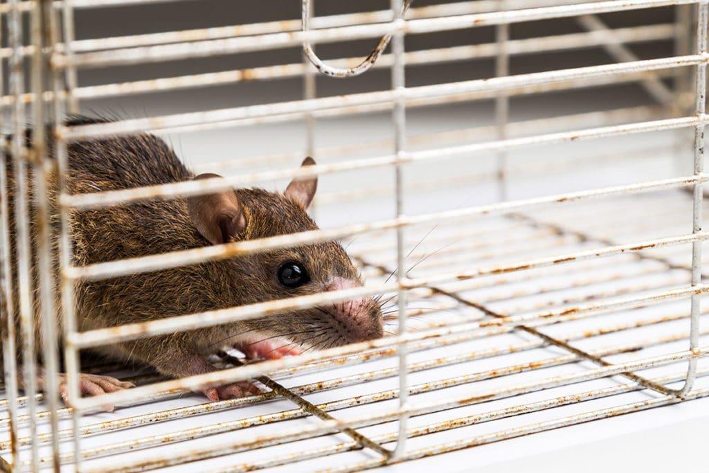 Ratte fangen, Lebendfalle