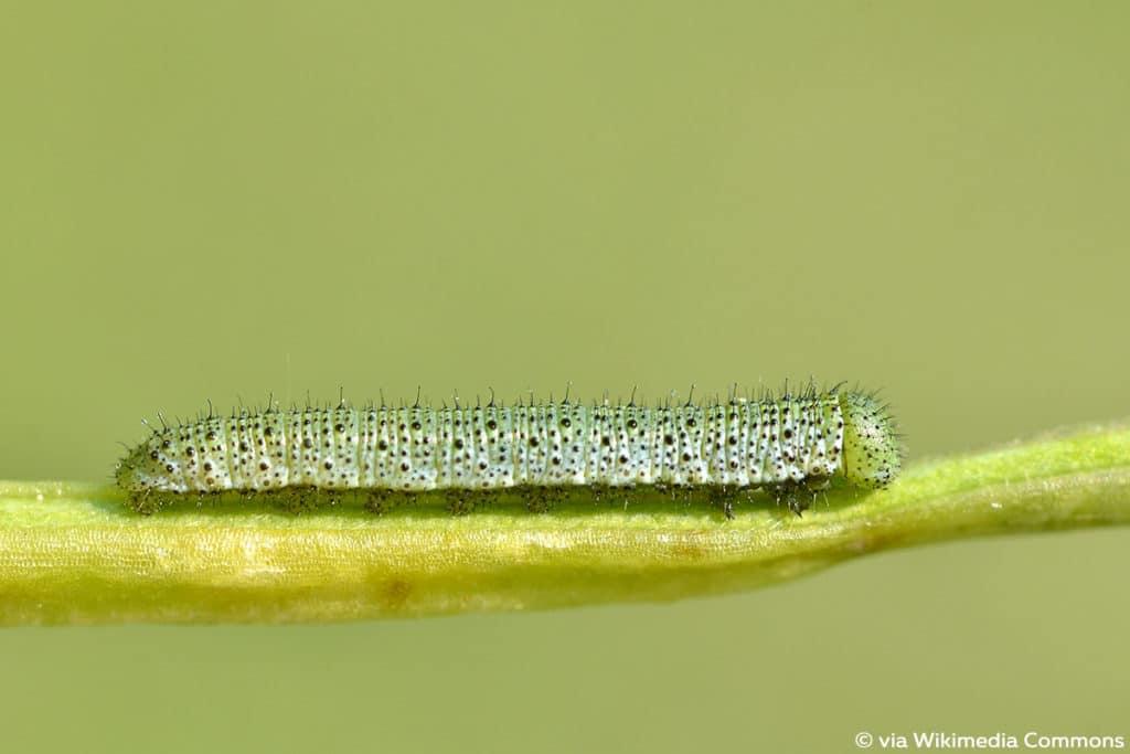 Aurorafalter (Anthocharis cardamines), Raupenarten