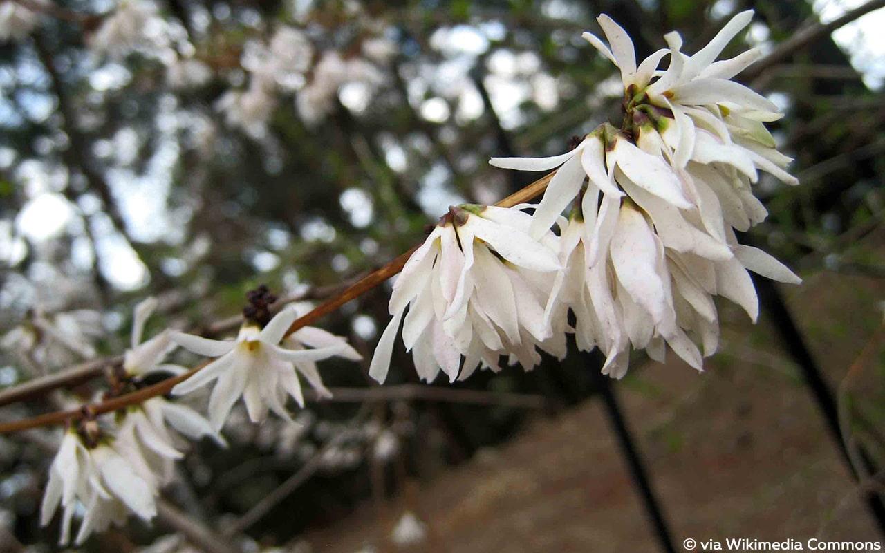 Schneeforsythie (Abeliophyllum distichum)
