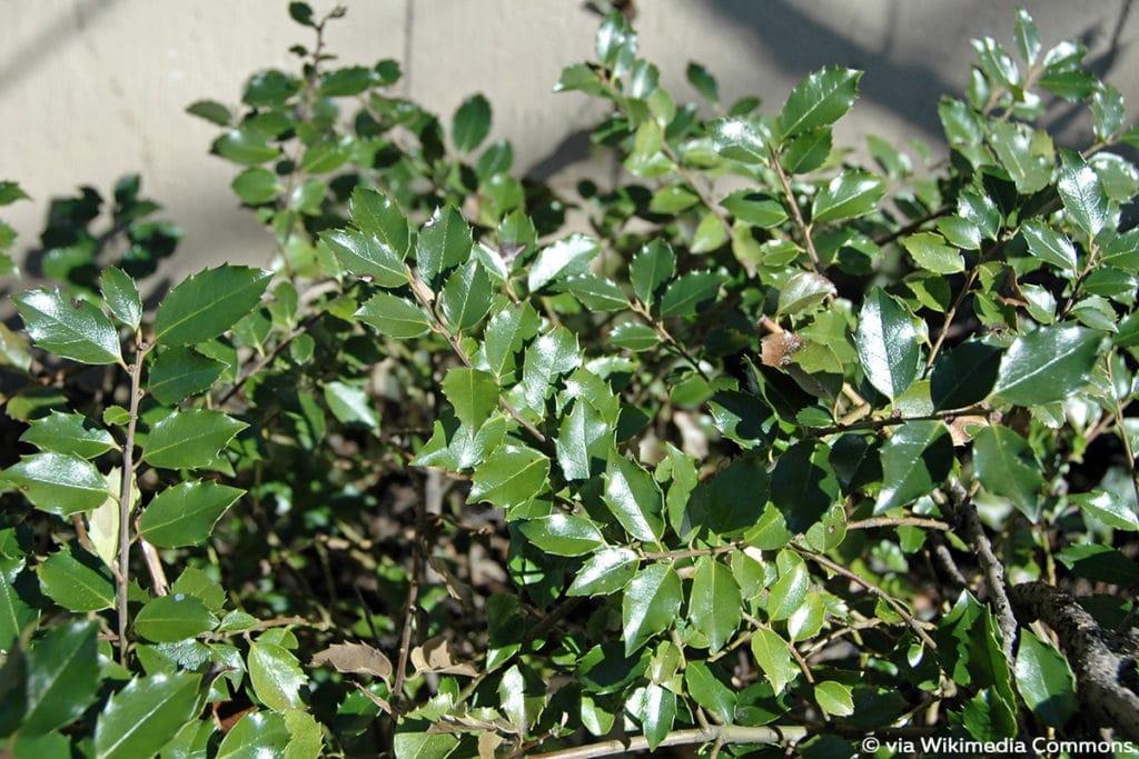 Stechpalme (Ilex aquifolium)