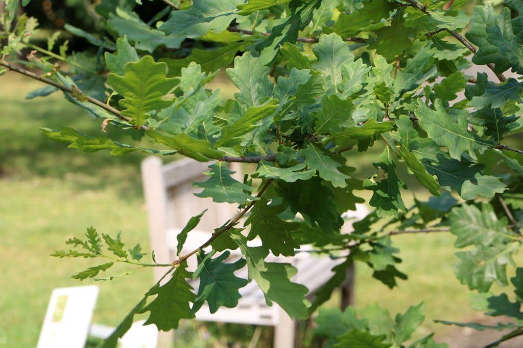 Baumarten, Stieleiche (Quercus robur)