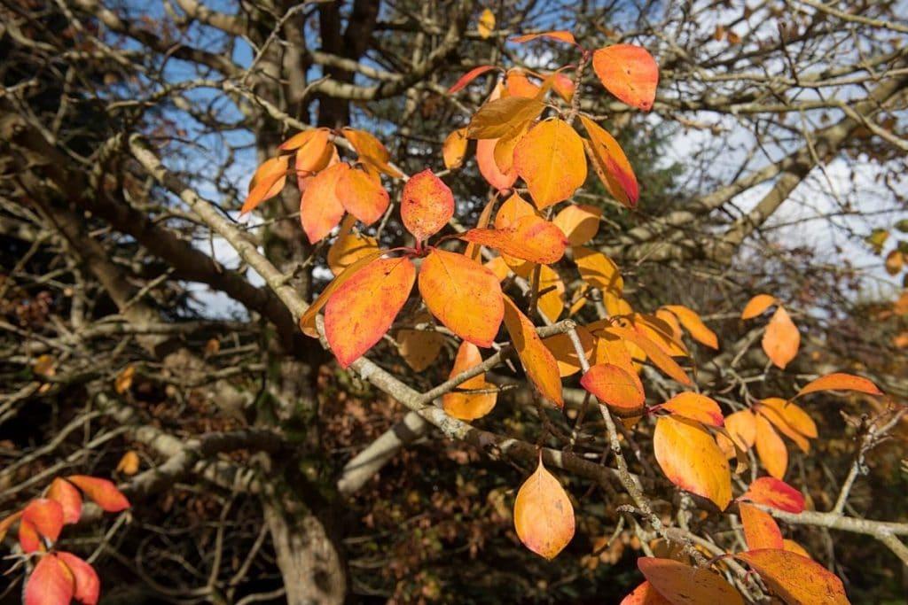 Tupelobaum - Nyssa sylvatica, rote Blätter im Herbst