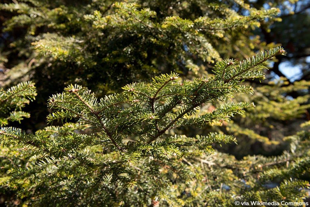 Weißtanne (Abies alba)