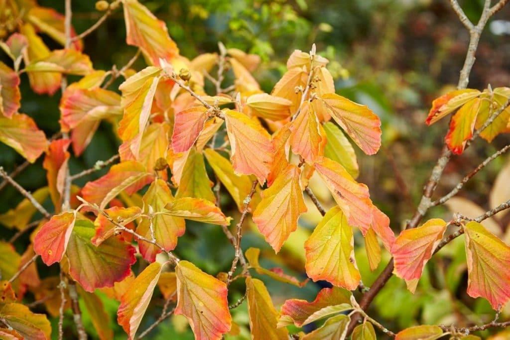 Zaubernuss – Hamamelis, rote Blätter im Herbst