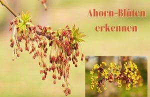 Ahorn-Blüten