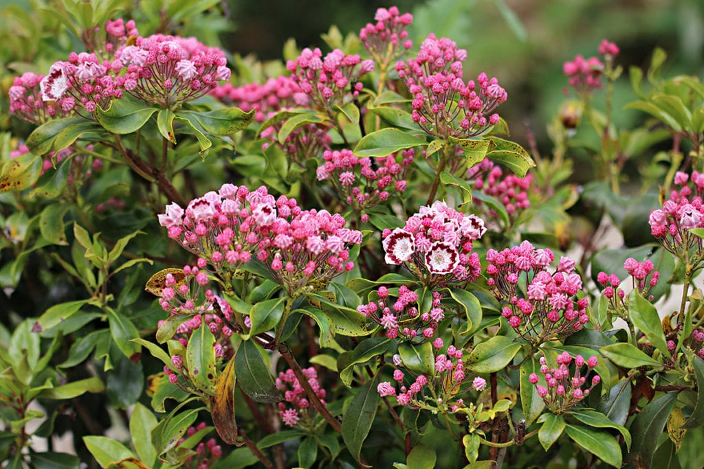 Berglorbeer, Lorbeerrose (Kalmia latifolia)