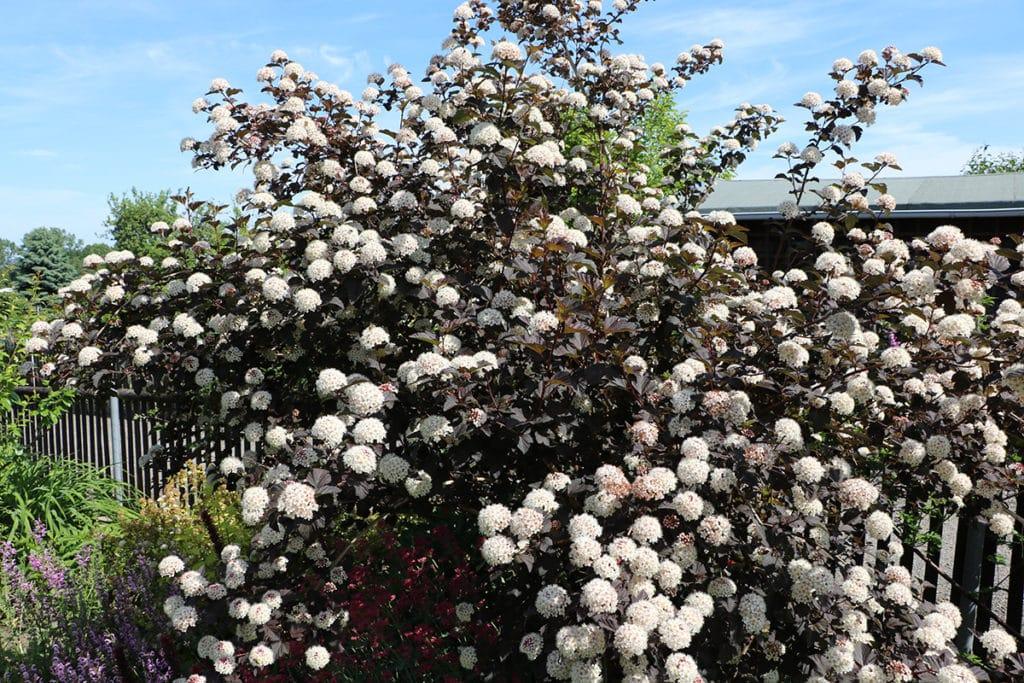Blasenspiere (Physocarpus opulifolius), Schattengehölze