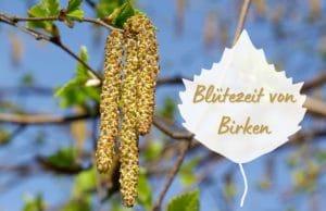 Blütezeit von Birken