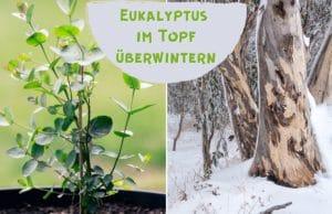 Eukalyptus im Topf überwintern
