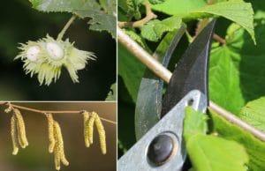Haselnussbaum schneiden