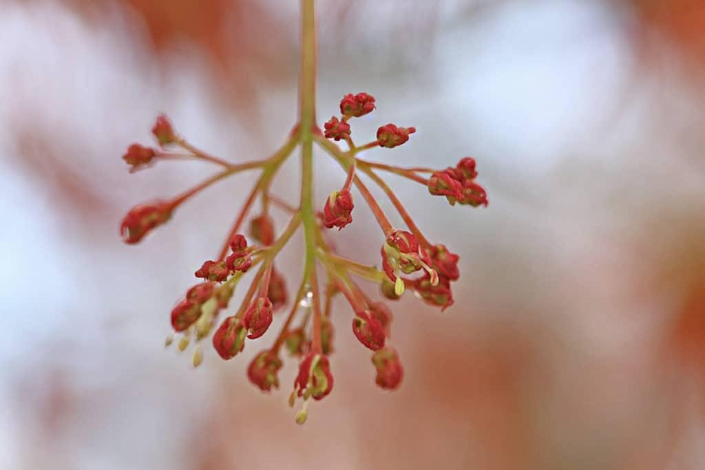 Acer palmatum, Japanischer Fächerahorn