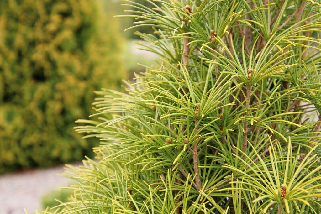 Japanische Schirmtanne (Sciadopitys verticillata)