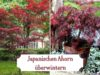 Japanischen Ahorn überwintern