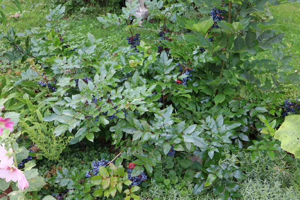 Mahonie (Mahonia aquifolium), Schattengehölze