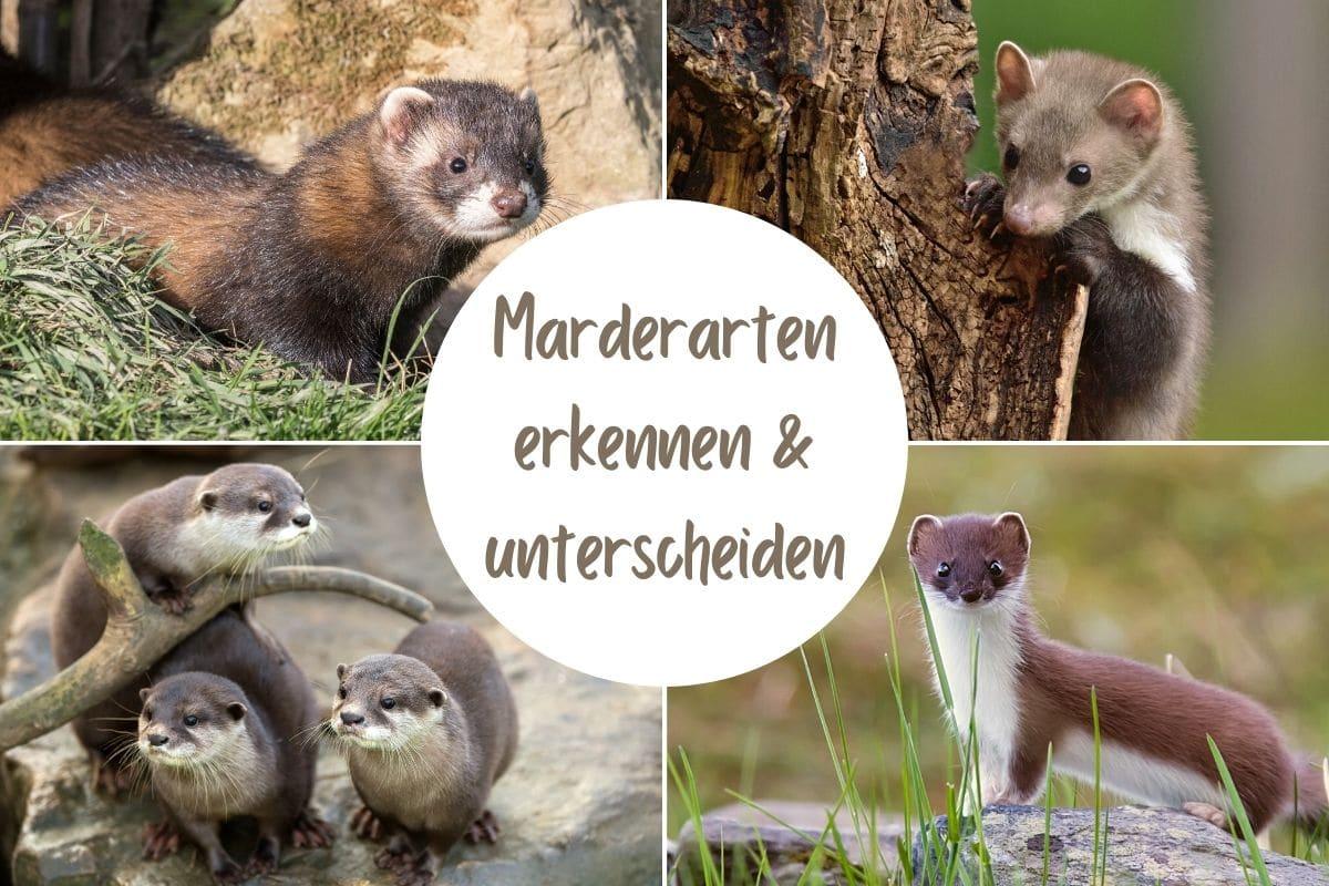 10 Marderarten In Deutschland Gartendialog De