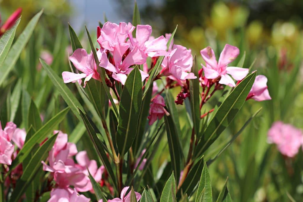 Nerium oleander schneiden