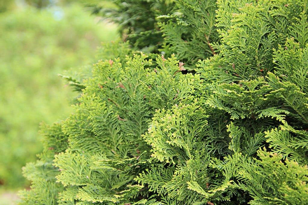 Scheinzypressen (Chamaecyparis)