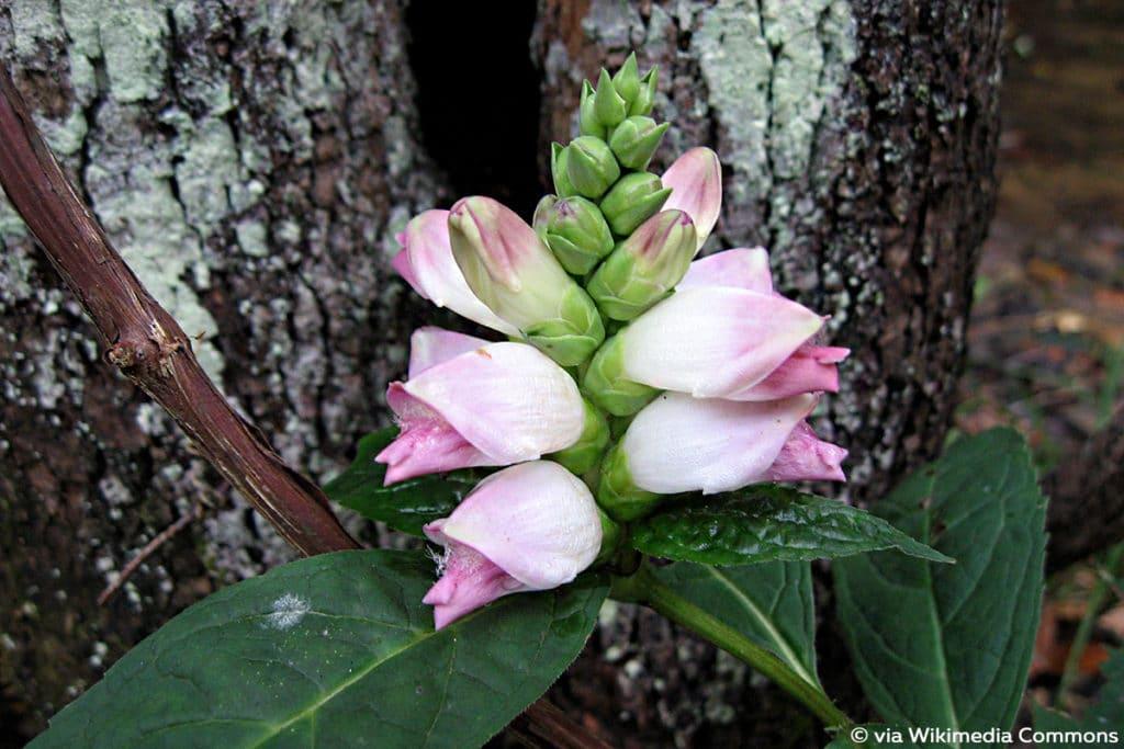 Schlangenkopf (Chelone), Pflanzen schneiden