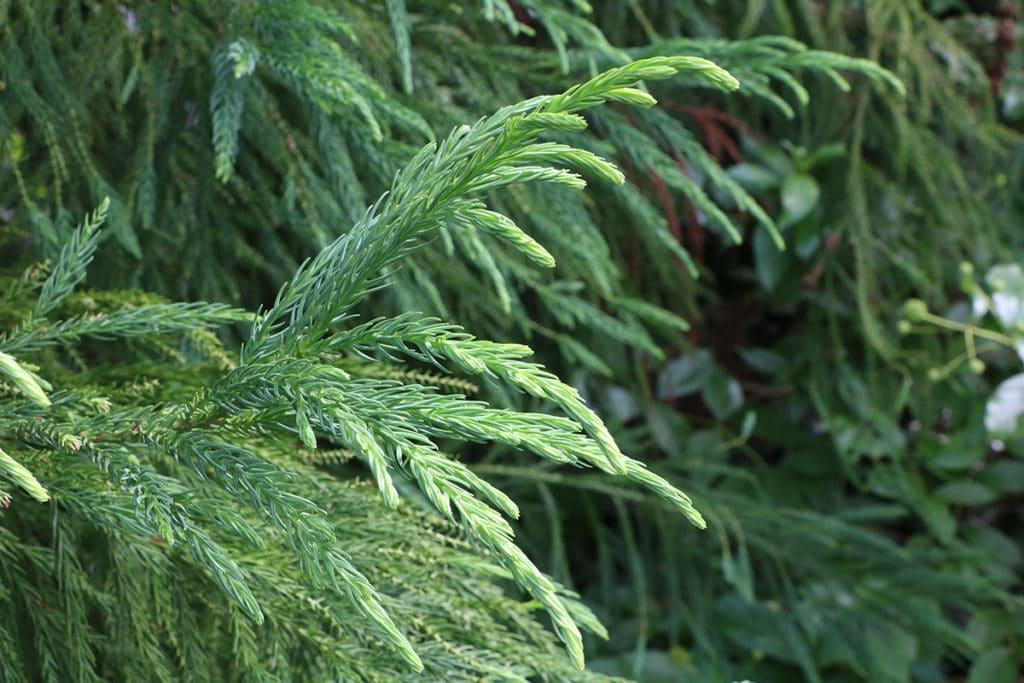 Sicheltanne (Cryptomeria japonica), Schattenspender
