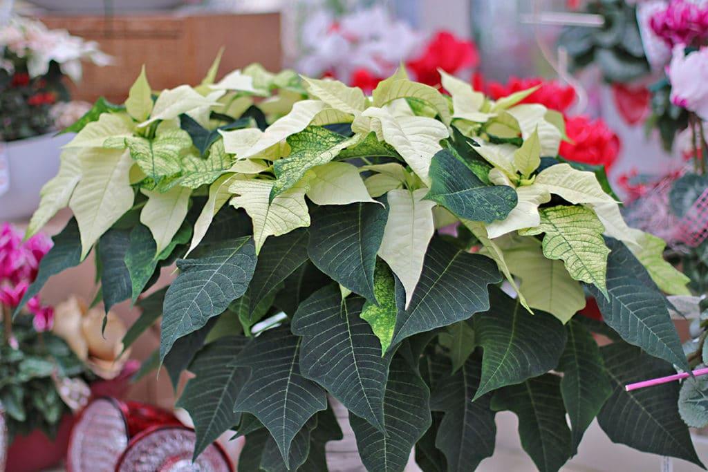 Weihnachtsstern (Euphorbia pulcherrima)