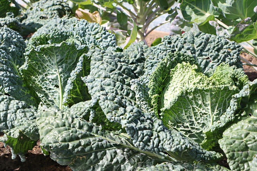 Wirsing – Brassica oleracea convar. capitata var. sabauda L