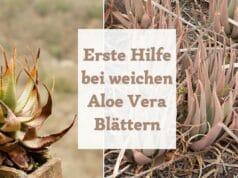 Weiche Blätter Aloe Vera