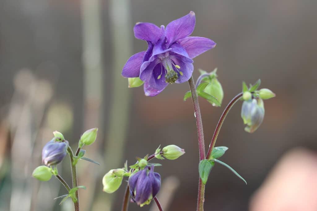 Akelei (Aquilegia), Schattenblume