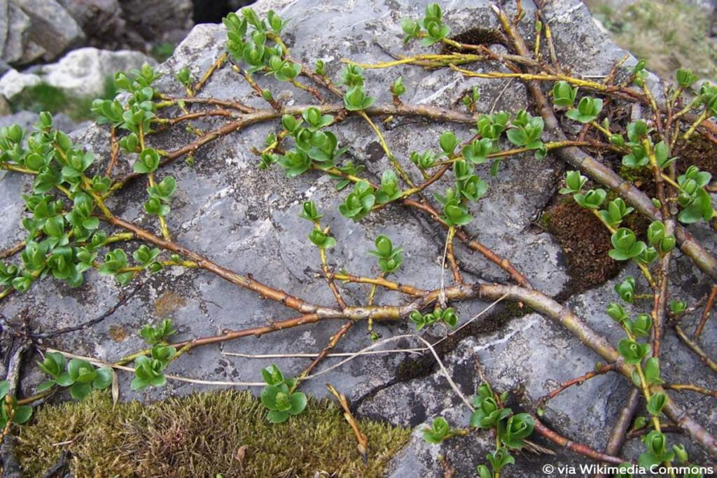 Alpen-Weide (Salix alpina)