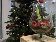 Amaryllis im Glas
