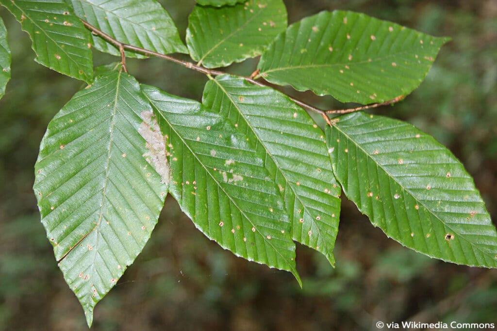 Amerikanische Buche (Fagus grandifolia), Buchenblatt