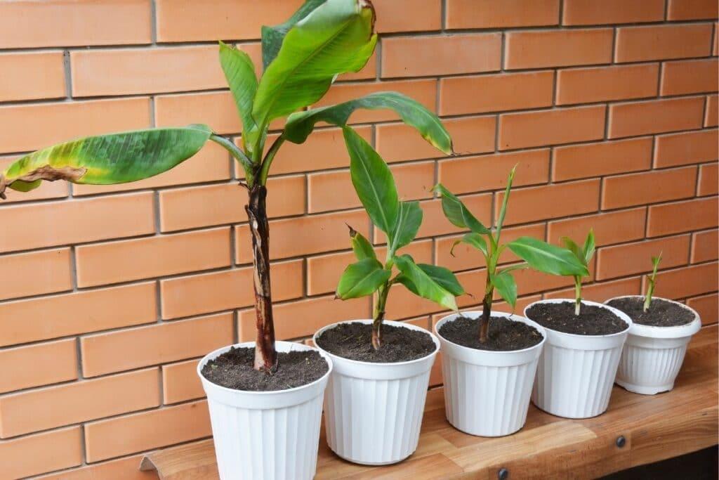 Bananenpflanze züchten