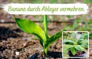 Banane vermehren durch Ableger