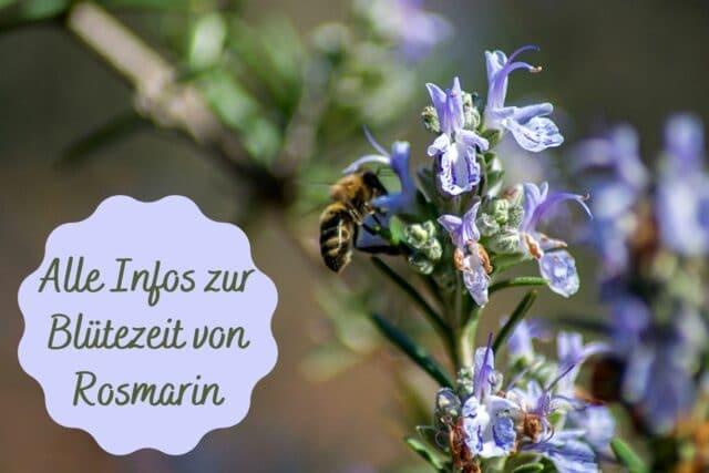Blütezeit Rosmarin