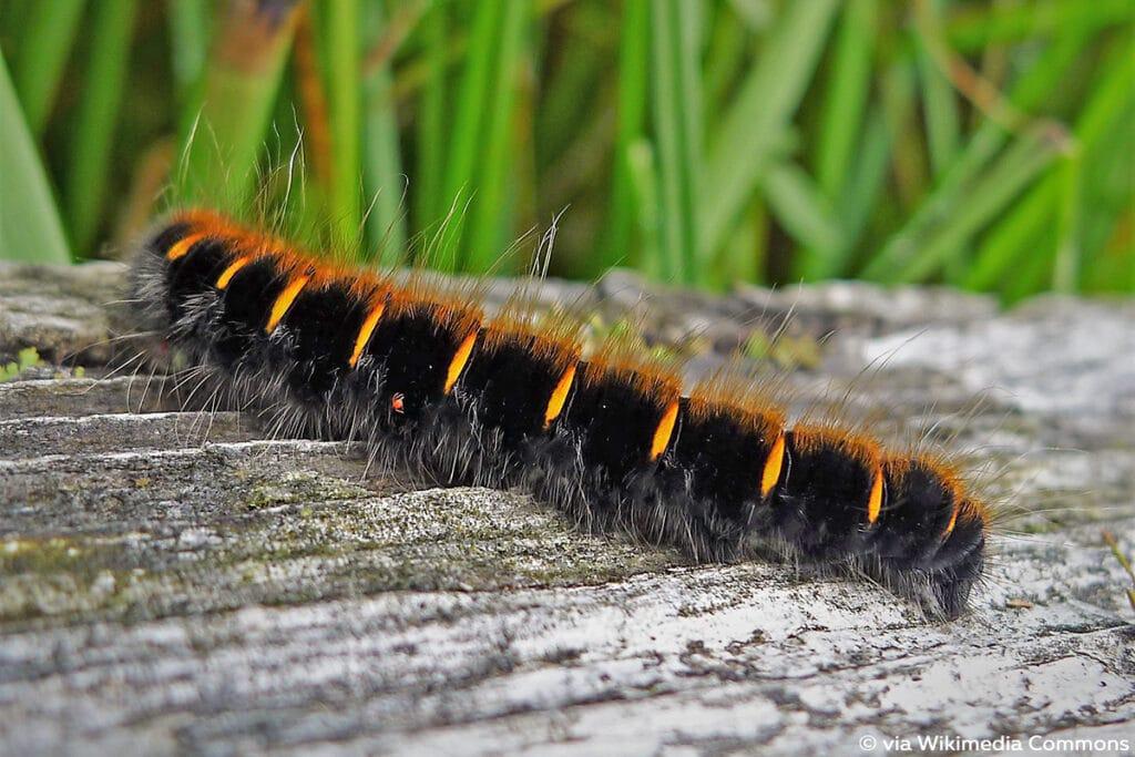 Brombeerspinner (Macrothylacia rubi)