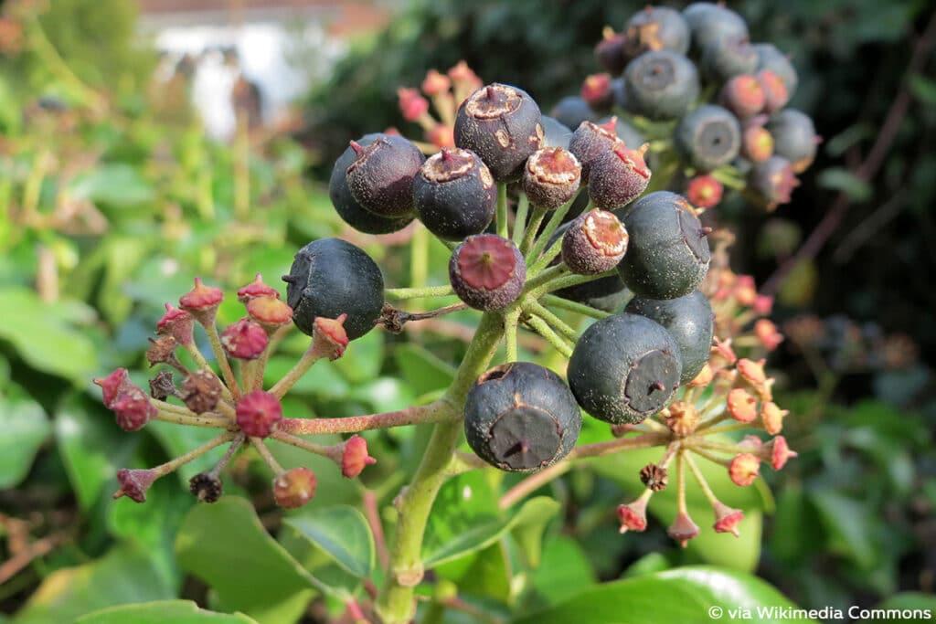Efeu, schwarze Beeren