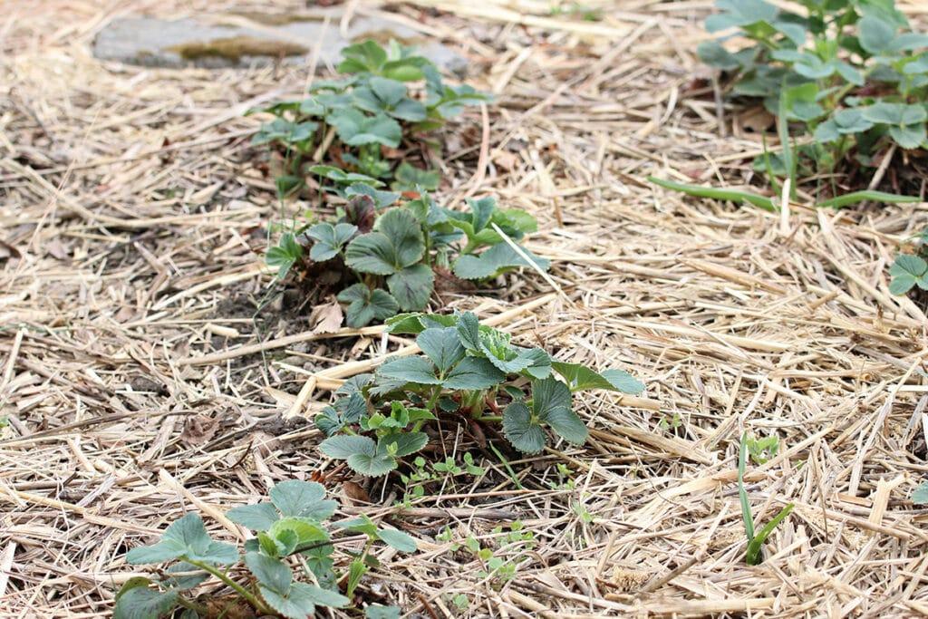 Erdbeerenpflanzen auf Stroh