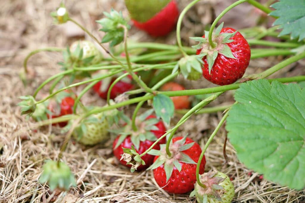 Standort Erdbeeren