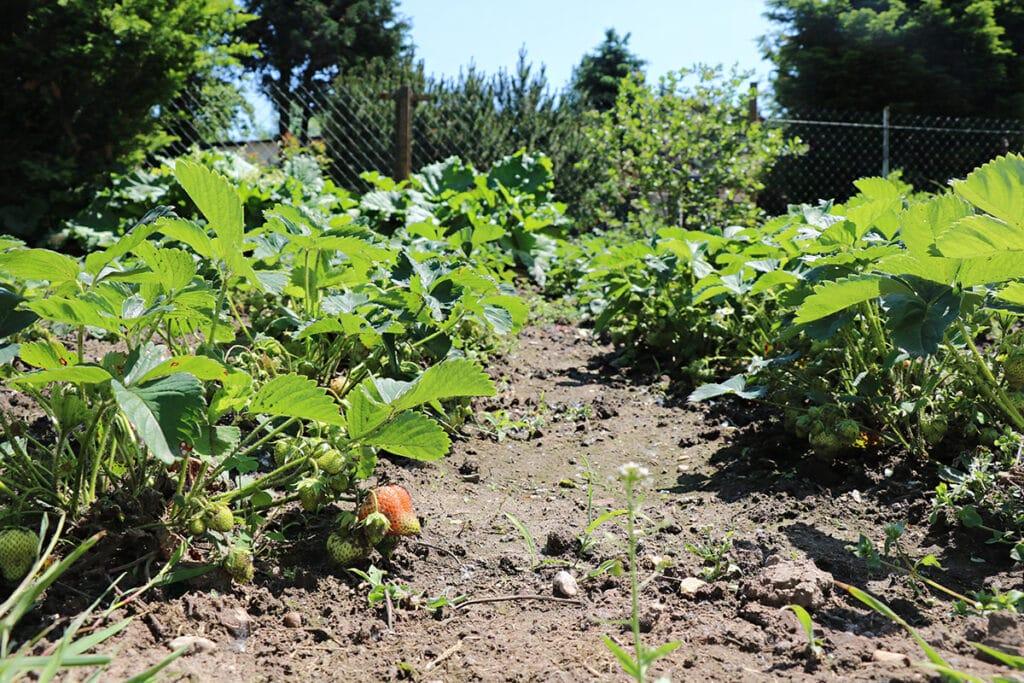 Abstand zwischen Erdbeerpflanzen