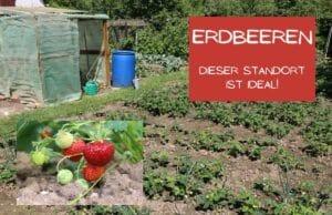 Erdbeeren Standort