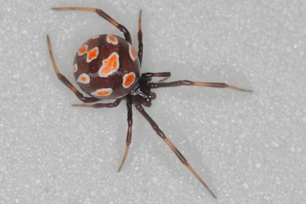 Gefährlicher Spinnenbiss - Schwarze Witwe